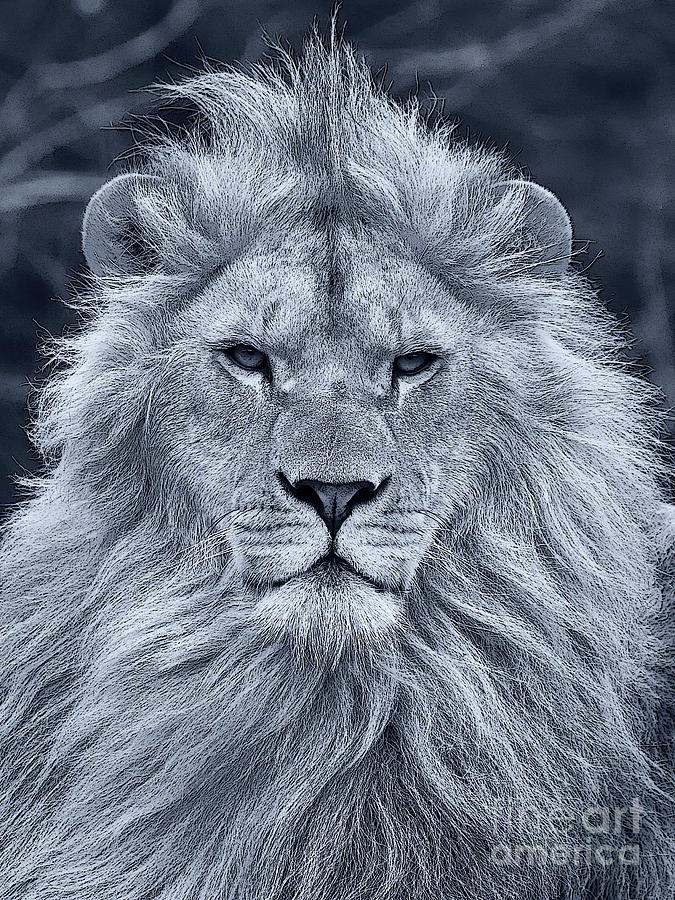 Lion Portrait In Black And White Photograph