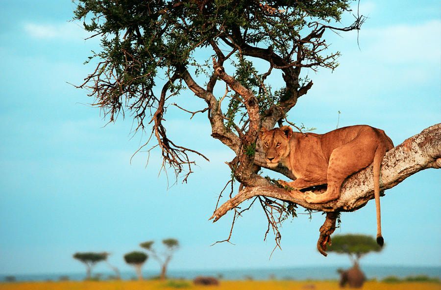 Africa Photograph - Lioness In Africa by Sebastian Musial