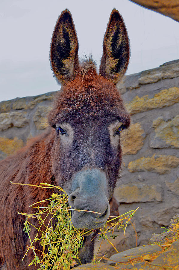 Fresh Photograph - Little Donkey. by Andy Za
