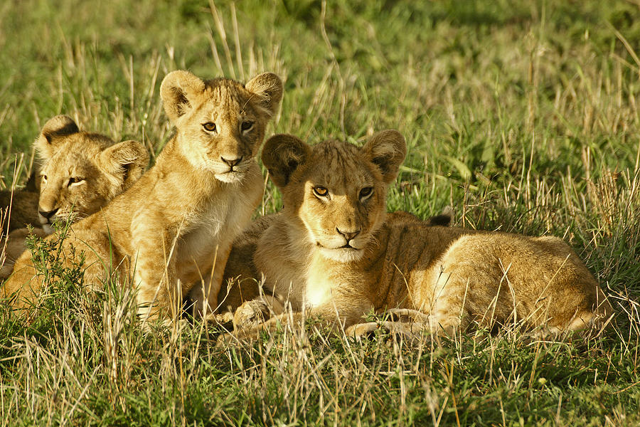 Lion Photograph - Little Lions by Michele Burgess