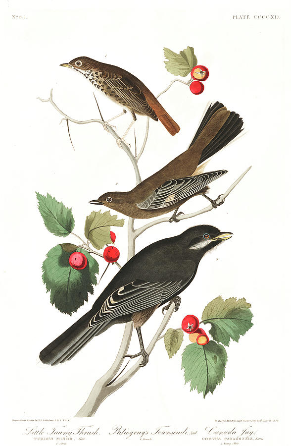 Little Painting - Little Tawny Thrush by John James Audubon