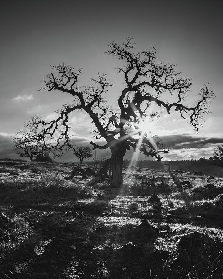 Lone Oak  by Lee Harland