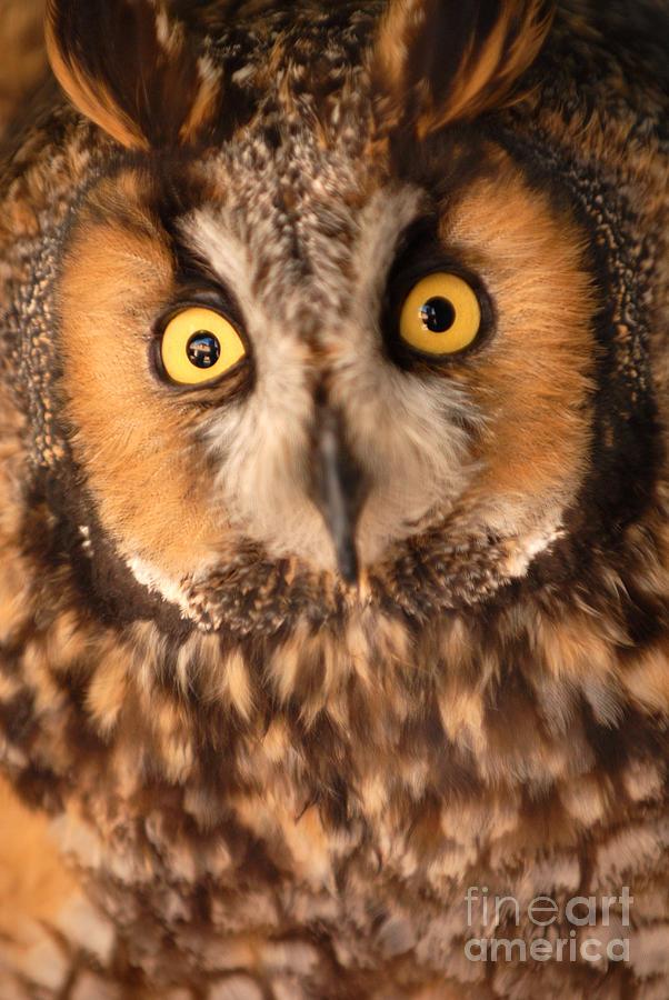Bird Photograph - Long Eared Owl by Dennis Hammer