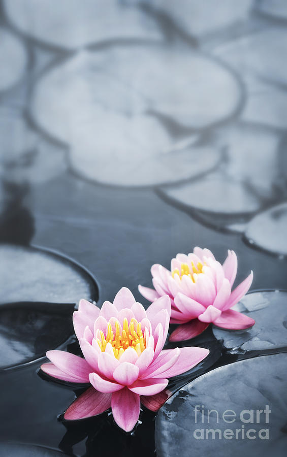 Blossoms Photograph - Lotus Blossoms by Elena Elisseeva