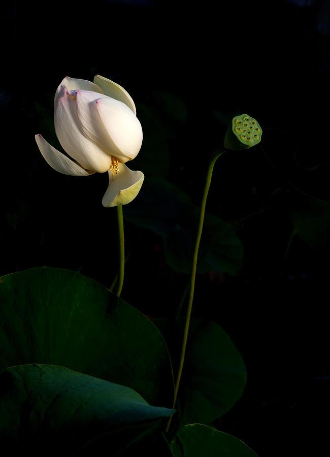 Flowers Photograph - Lotus Pair by Catherine Lau
