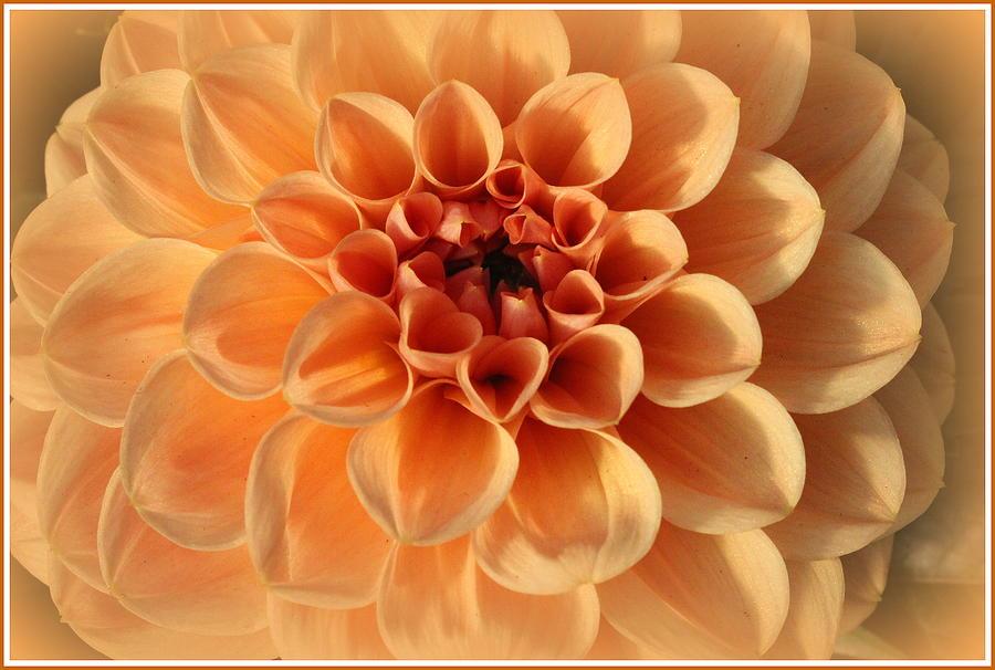 Dahlia Photograph - Lovely In Peaches And Cream - Dahlia by Dora Sofia Caputo Photographic Design and Fine Art