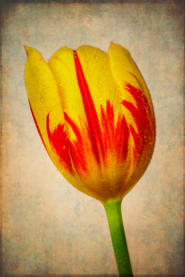 Tulip Photograph - Lovely Textured Tulip by Garry Gay
