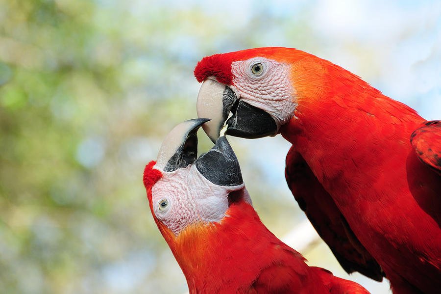 Bird Photograph - Macaws by Steven Sparks