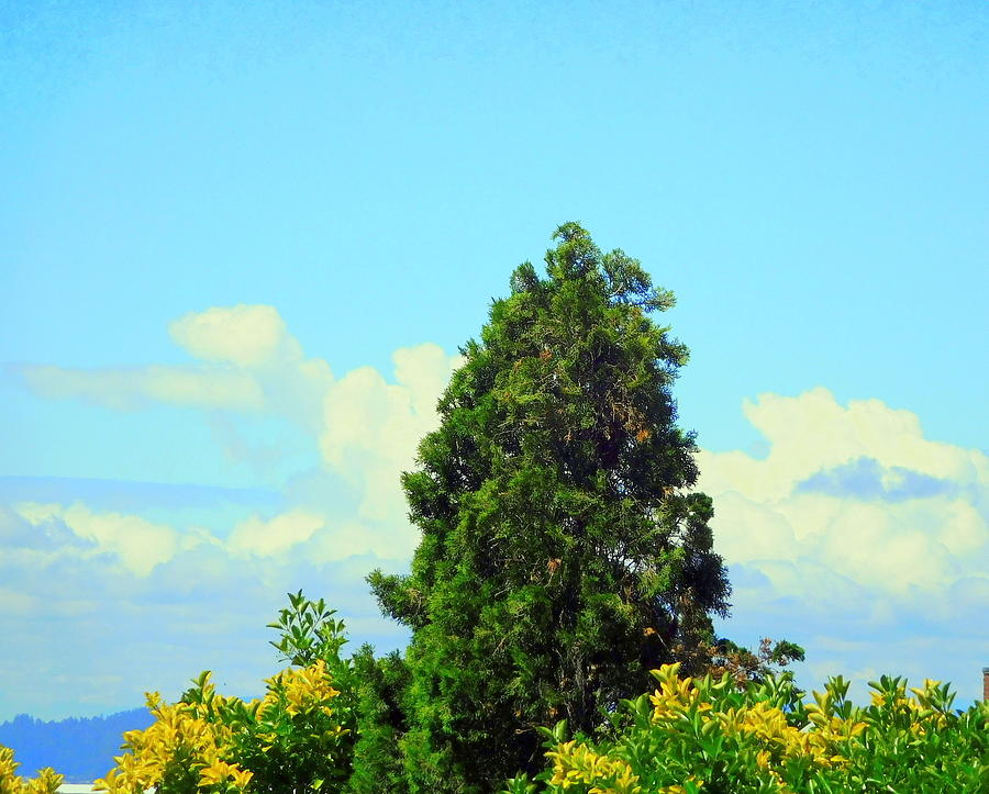 Seattle Photograph - Majestic Evergreen by Maro Kentros