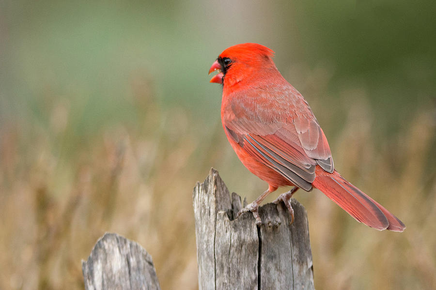 Male Cardinal by David Waldrop