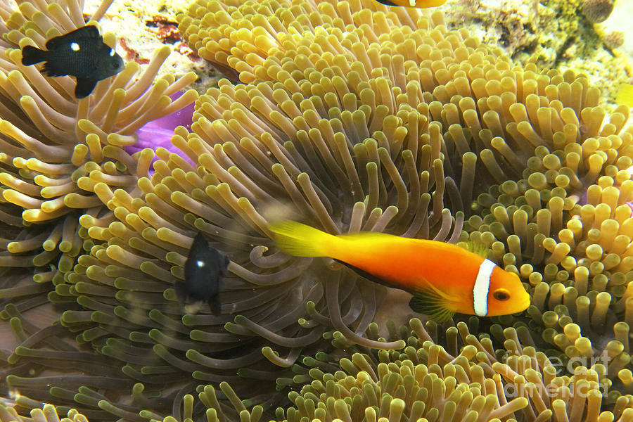 Amphiprion Nigripes Photograph - Maledives Clown fish by Juergen Held