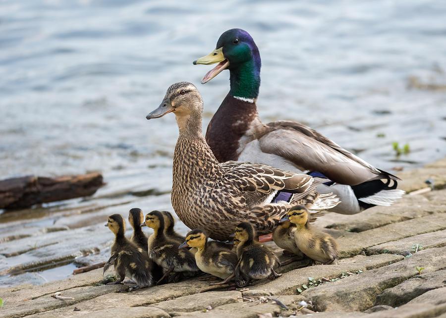 Mallard Duck Family Photograph by Jan M Holden