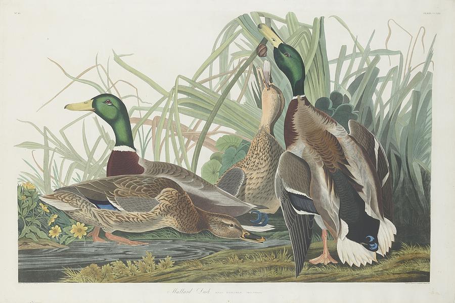 Audubon Drawing - Mallard Duck by Dreyer Wildlife Print Collections