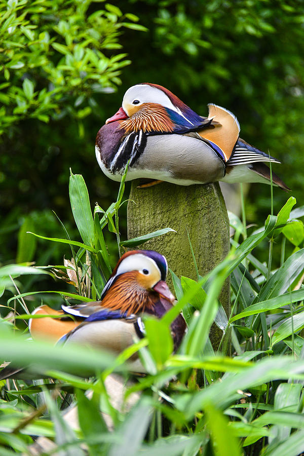 Mandarin Duck by Bill Hosford