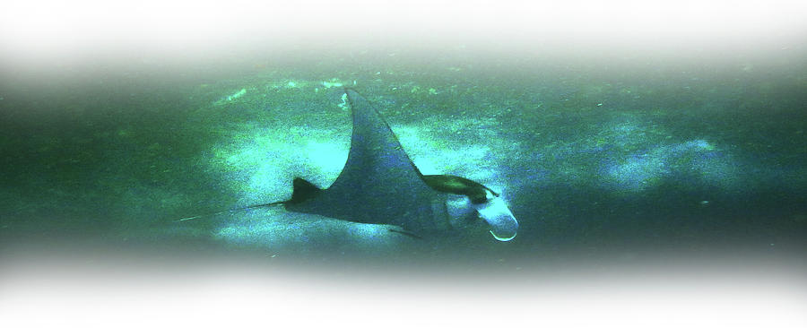 Manta Photograph - Manta Ray Dream by Csilla Ari DAgostino