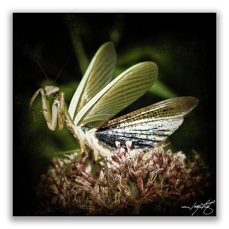 Mantidae Photograph - Mantis 22 by Ingrid Smith-Johnsen
