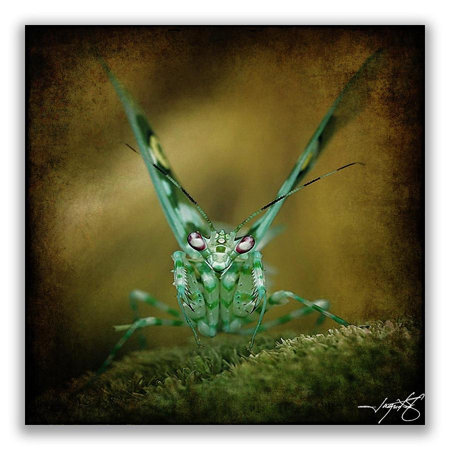 Mantidae Photograph - Mantis 5 by Ingrid Smith-Johnsen