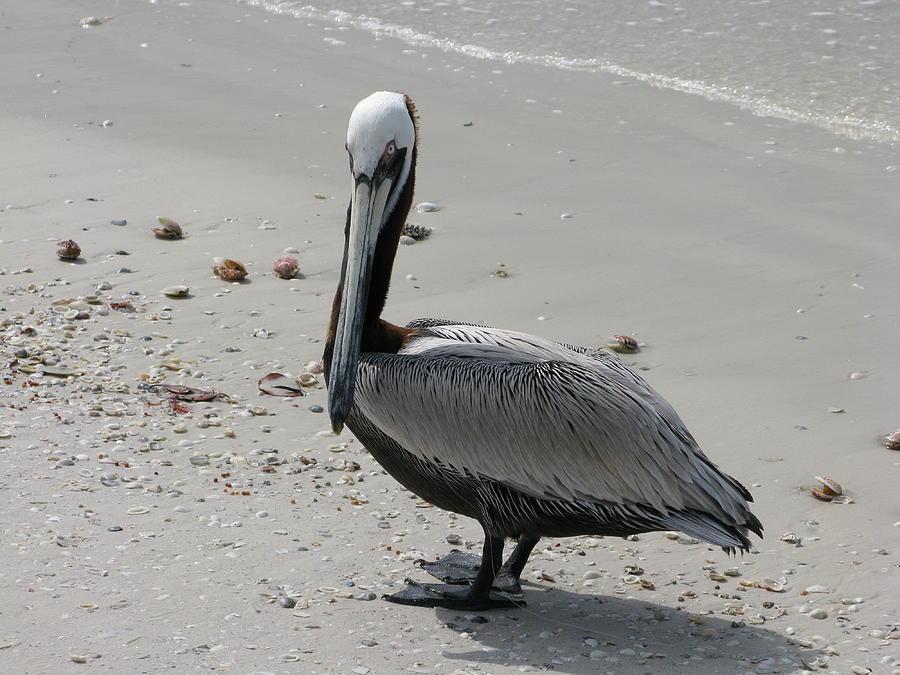 Marco Island FL Pelican by Arthur English