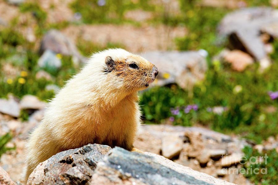 Marmot On Mount Massive Colorado Photograph