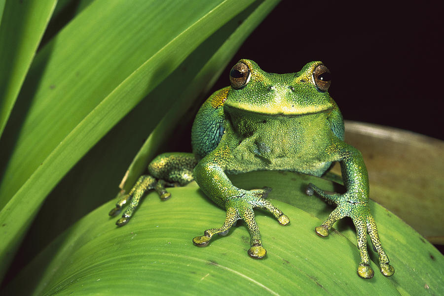 Mp Photograph - Marsupial Frog Gastrotheca Orophylax by Pete Oxford