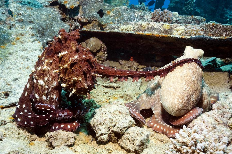 Octopus Cyanea Photograph - Mating Pair Of Day Octopuses by Georgette Douwma