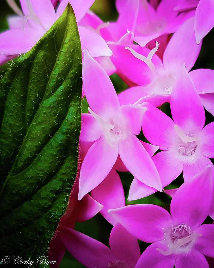 Maui Pink Star Flower Photograph By Corky Byer
