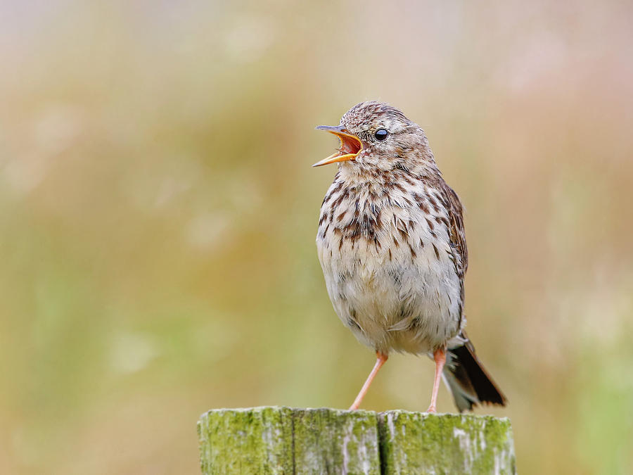 Bird Photograph - Meadow Pipit by Roy McPeak