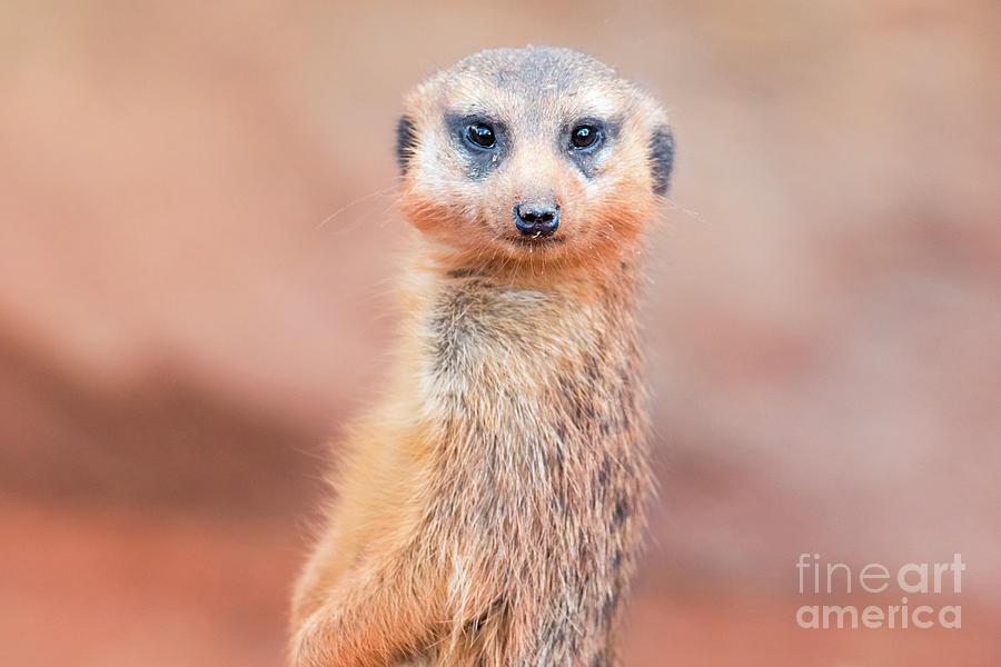 Meerkat by Stephanie Hayes