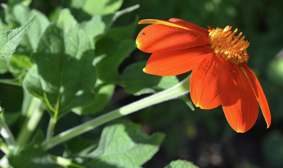 Garden Photograph - Mexican Sunflower by MHmarkhanlon