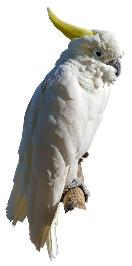 Mitchell's Cockatoo Photograph - Mitchells Cockatoo by George Atsametakis