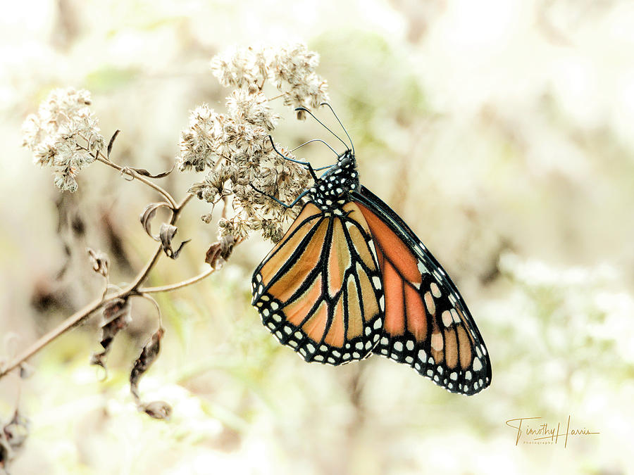 Monarch #1 by Timothy Harris