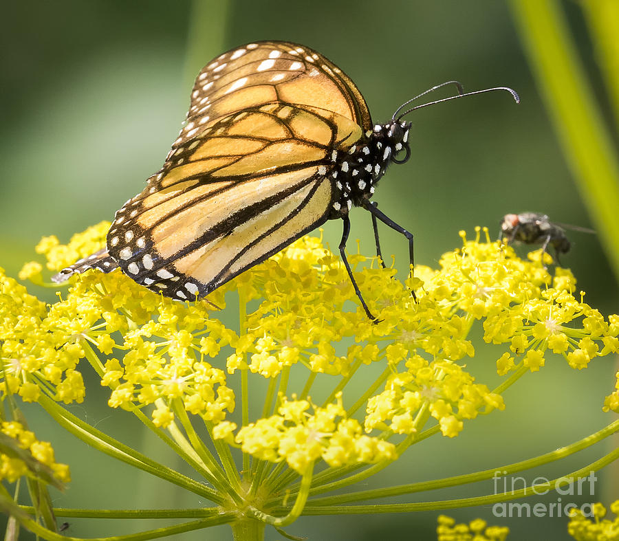 Canon Photograph - Monarch Butterfly by Ricky L Jones