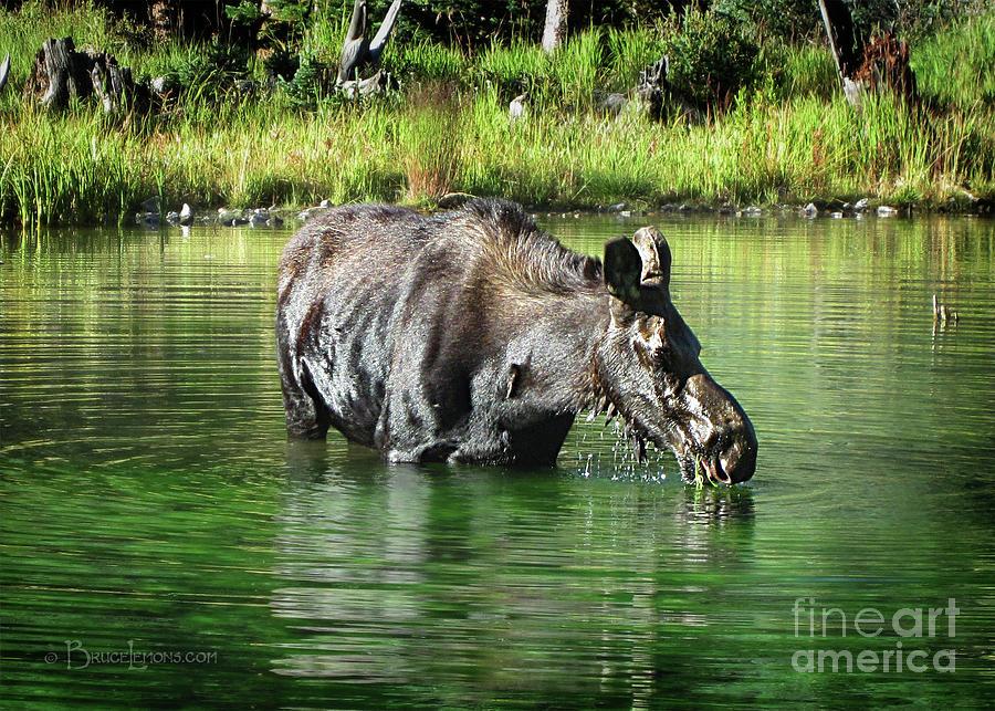 Colorado Photograph - Moose In The Elk Creek Beaver Ponds by Bruce Lemons