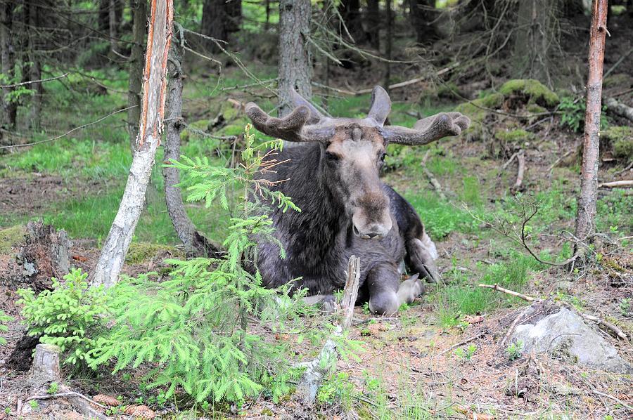 Elk Photograph - Moose by Renee Pettersson