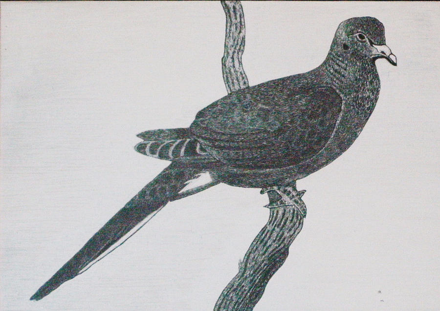 Scratchboard Mixed Media - Morning Dove by Chris Hedges