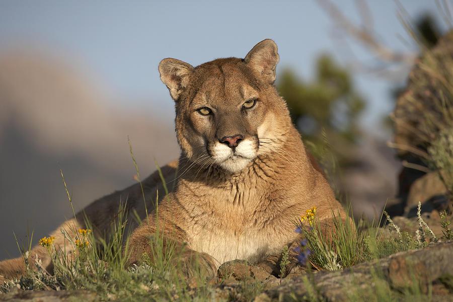 Mp Photograph - Mountain Lion Portrait North America by Tim Fitzharris