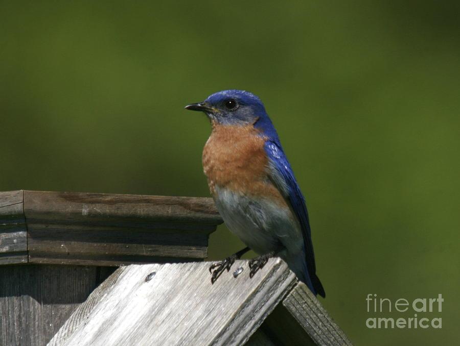 Blue Bird Photograph - Mr Blue Bird by Robert Pearson