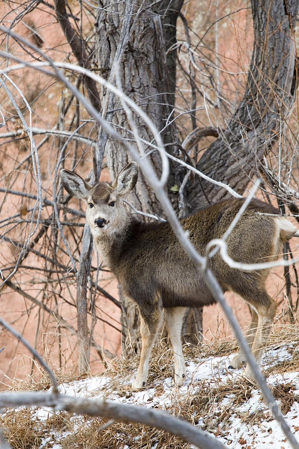 Mule Deer Does In Red Rock Canyon Photograph