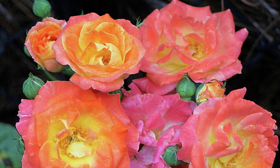 multi-color roses by Jerry Battle