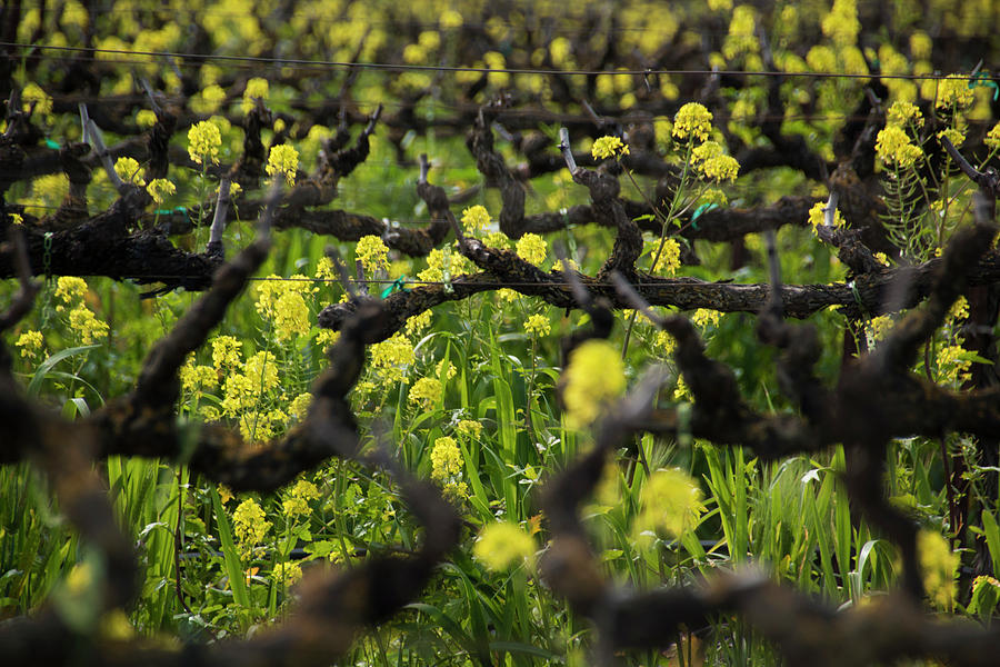 Mustard Flowers Photograph - Mustard In The Vineyard by Susan Wright