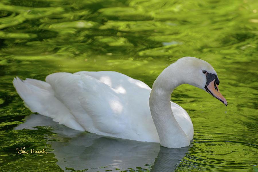 Mute Swan by Chris Busch