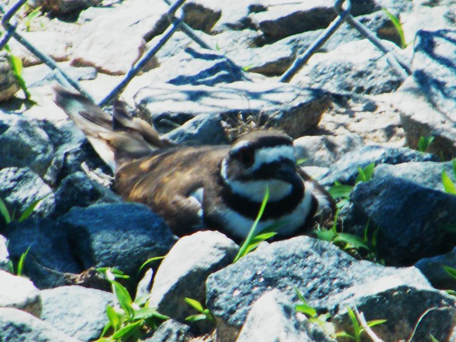 Bird Nesting Photograph - Nesting by Nereida Slesarchik Cedeno Wilcoxon