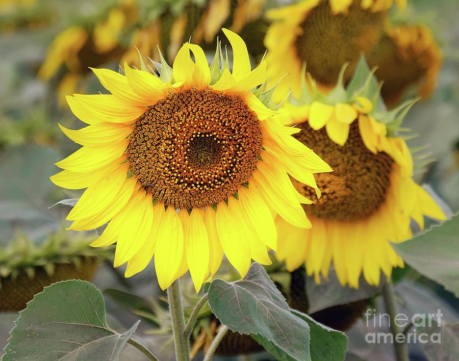 Flowers Photograph - Nice Sunflowers by Elvira Ladocki
