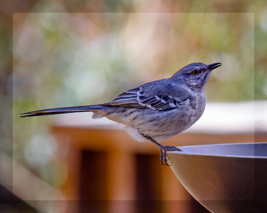 Northern Mockingbird Photograph - Northern Mockingbird by Robert L Jackson