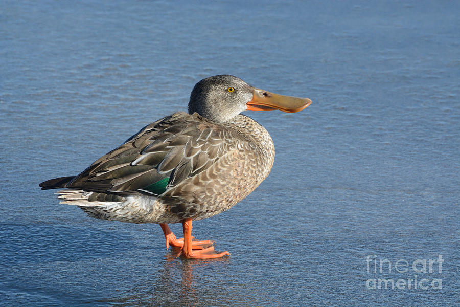 Northern Shoveler Photograph - Northern Shoveler Duck Hen by Merrimon Crawford