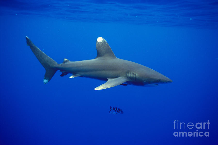 Blue Photograph - Oceanic Whitetip Shark by Dave Fleetham - Printscapes