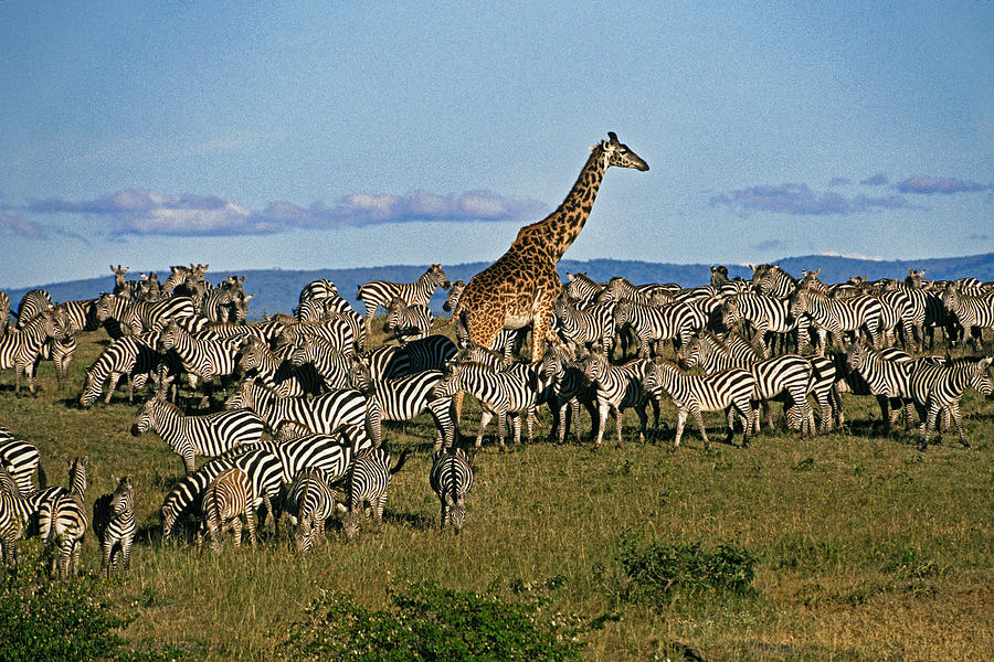 Africa Photograph - Odd Man Out by Michele Burgess
