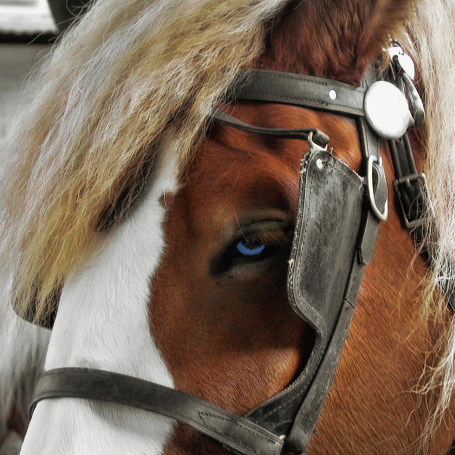 Blinders Photograph - Old Blue Eyes by Dressage Design