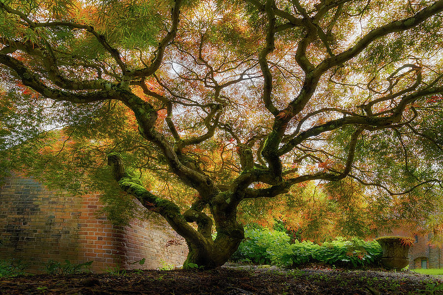 Japanese Photograph - Old Japanese Maple Tree by David Gn