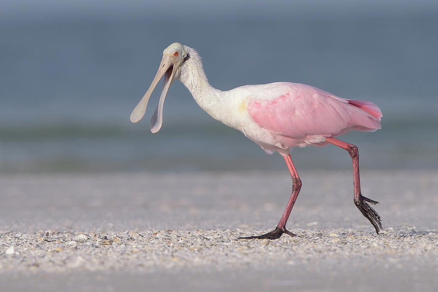 Roseate Spoonbill Photograph - On The Move by Jim Gray